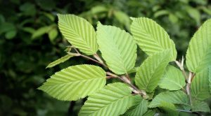 slippery-elm-bark